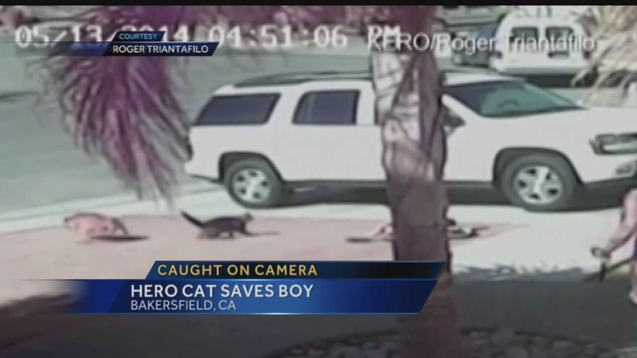 Caught on camera, an amazing save, a cat fought off a dog who attacked a little boy.
