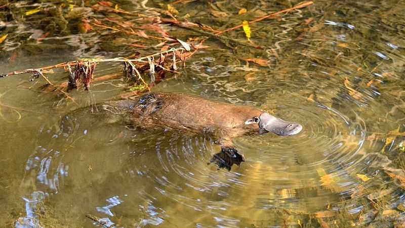 Platypus. Ankle spurs. Wicked sting. Can incapacitate an adult human. Long lasting pain.