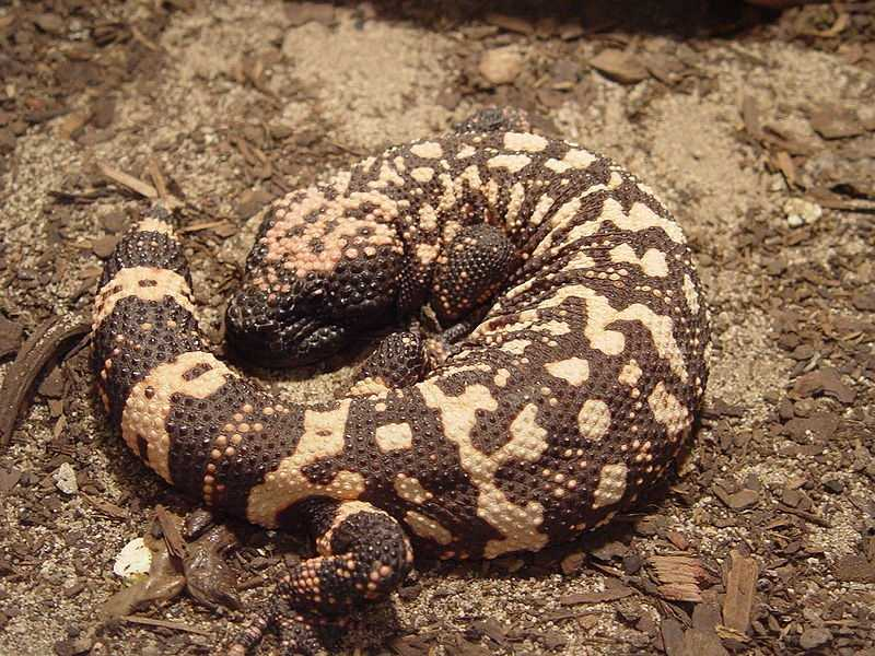 Gila Monster. Neurotoxin venom. Bite. Sharp teeth. They've been known to flip over while biting, to further open the wound.