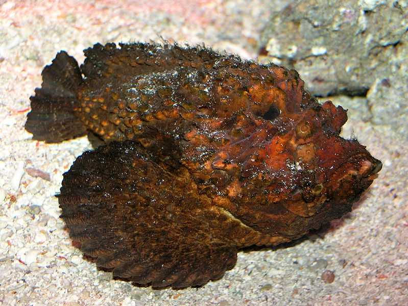 Stonefish. Most venomous fish in the world. Often fatal stings.