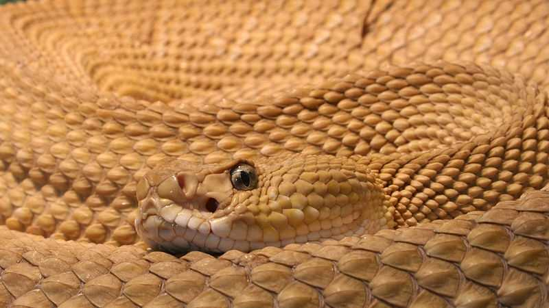 Viper. Most painful of snake bites. Sometimes fatal.