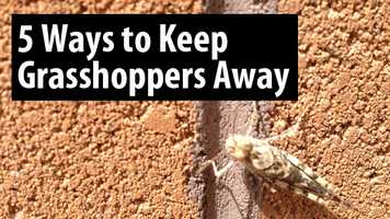 In case you missed it, a ton of grasshoppers are hopping around Albuquerque. If these insects bug you, try these five tips to keep grasshoppers away from mypestprevention.com