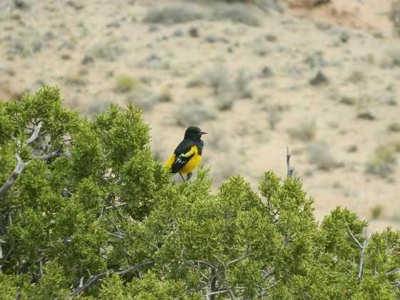 Orilla Verde Rec Area, Village of Pilar: Bullock's Oriole, Pinon Jay, Canyon Wren, Rock Wren, Bushtit, Dipper, Golden Eagle, Peregrine Falcon [Photo | Scott's Oriole]