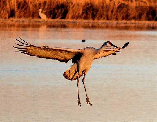 Bosque del Apache National Wildlife Refuge (Socorro): cranes, geese, ducks, eagles [Photo | Crane]