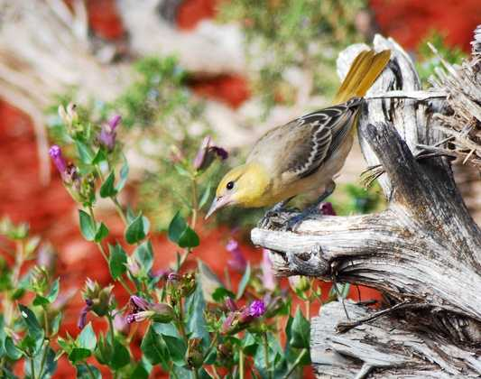 Southwest NM Audubon Society (Silver City, Big Ditch Park, Elephant Butte lake): Grebe, Gila Woodpecker, Hooded Oriole [Photo | Bullock Oriole]