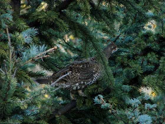 Sangre de Cristo Audubon Society [Santa Fe, Los Alamos] (Hyde State Park): Williamson's Sapsucker, Hammond Flycatcher, Cordilleran Flycatcher, Western Tanager, Nuthatches, Mountain Chickadees, Steller Jays, Western Warblers, Blue Grouse [Photo   Grouse]