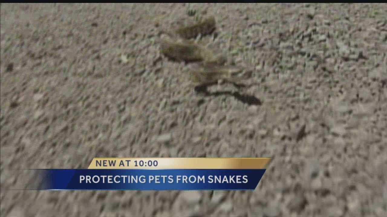 All the rain is bringing reptiles and critters out of their homes, but residents of flood areas have been warned to be on the lookout for Rattlesnakes.