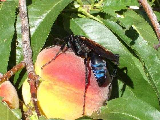 You live in constant fear of Tarantula Hawk wasps