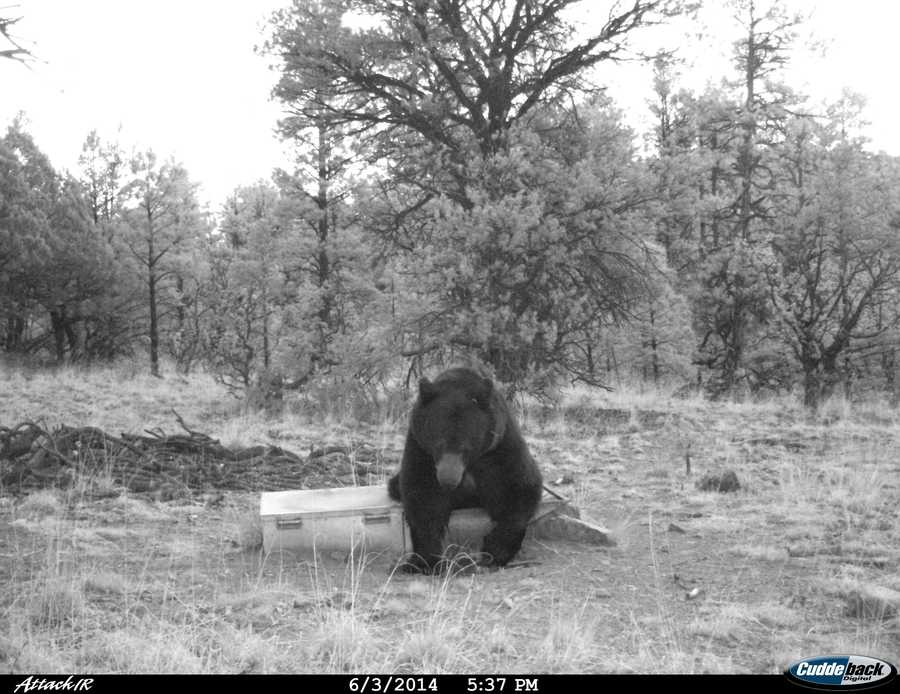 See photos of bears, elk and other animals drinking from a New Mexico State Land Office drinker.