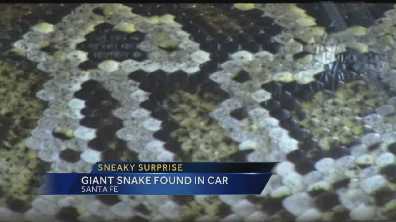Sneaky surprise: Giant snake found in car