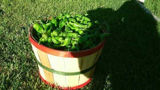 Roast green chile