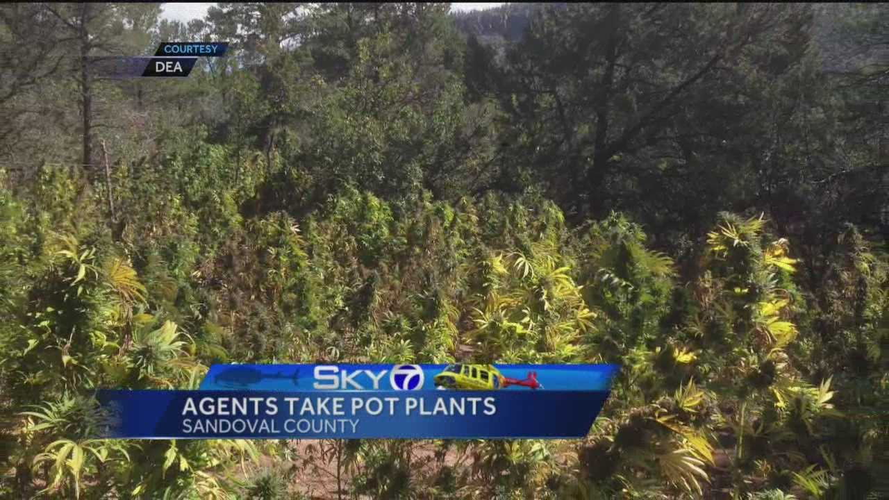 More than 1,000 marijuana plants were seized during a Drug Enforcement Agency operation Wednesday.