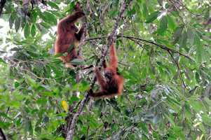 9. They've also been used to track critically endangered Sumatran orangutans from above the treetops, according to the magazine.