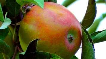 Researchers have identified compounds in apple peels that have potent anti-growth activities against cancer cells in the liver, colon and breast.