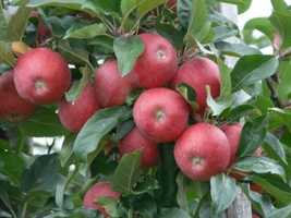 Women who eat at least one apple a day are 28 percent less likely to develop type 2 diabetes than those who don't eat apples, according to the magazine. Apples are loaded with fiber, the key to blunting blood sugar swings.