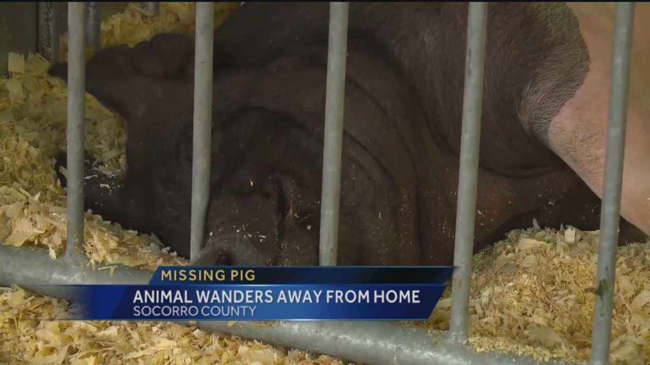 A 500 pound pig that disappeared is now back home.