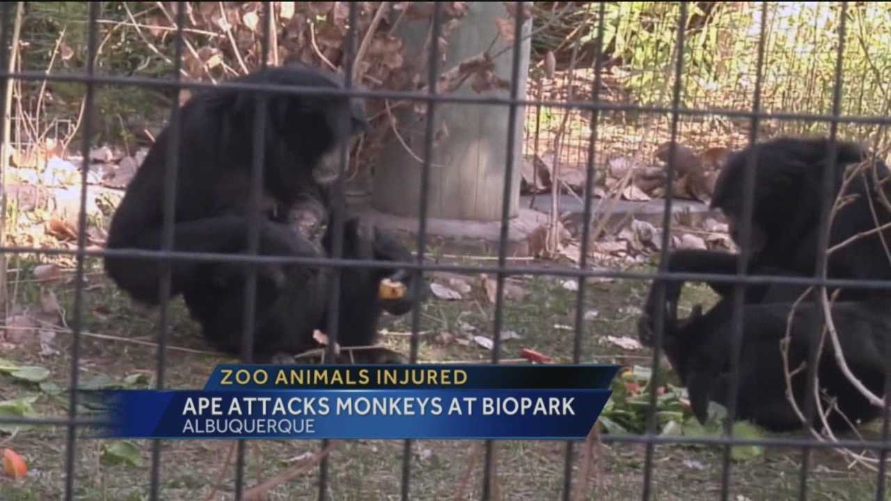 Some monkeys at the Albuquerque Biopark were seriously injured after an attack.