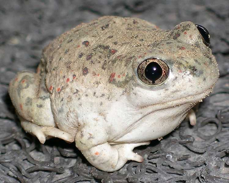 ANSWER:The New Mexico Spadefoot