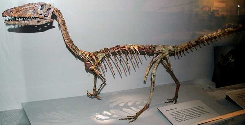 ANSWER:Coelophysis