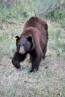 ANSWER: The Black Bear