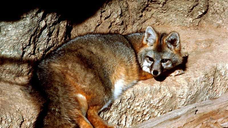Gray Fox (FILE PHOTO)