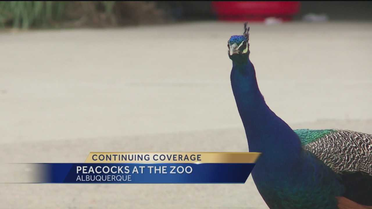 Free-roaming peacocks at the Albuquerque zoo proved to be a hot-button topic on social media Wednesday.