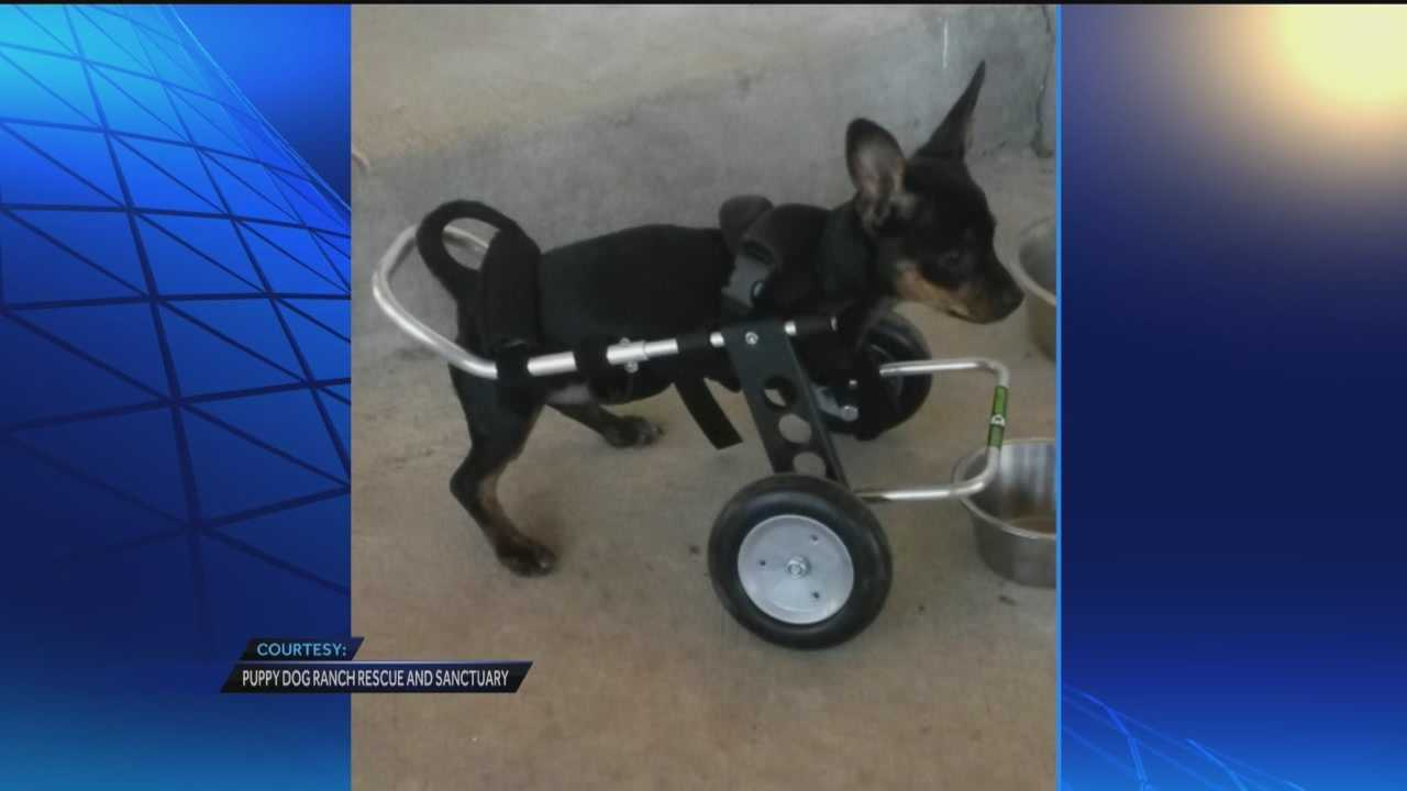 A two-legged dog is now rolling his way through life.