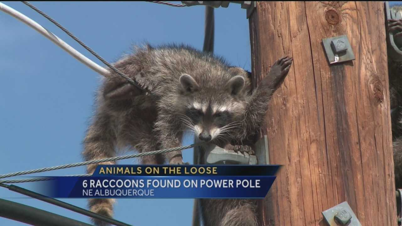 Raccoons are running rampant in northeast Albuquerque.