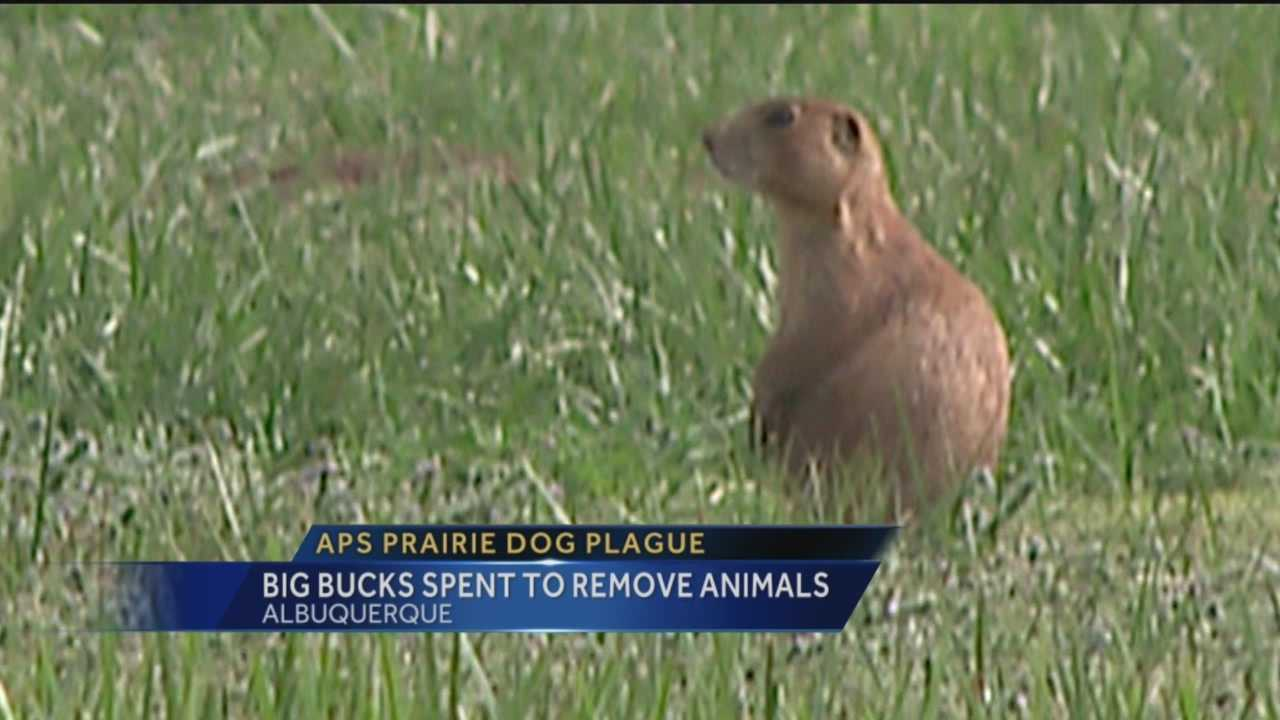 Prairie dogs invade campuses, tear up property, and are costing Albuquerque Public Schools thousands of dollars.