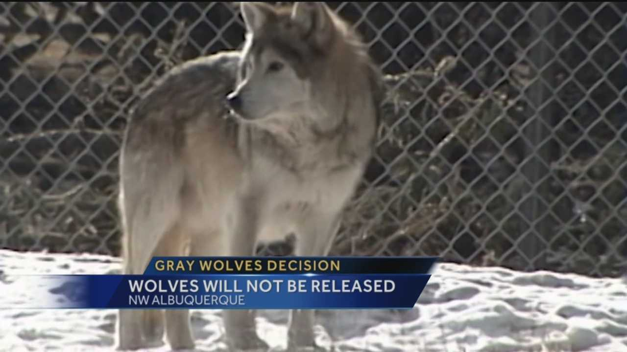The federal government is back to square one tonight after its plan to release more gray wolves into the Gila national forest to help boost population numbers was rejected.