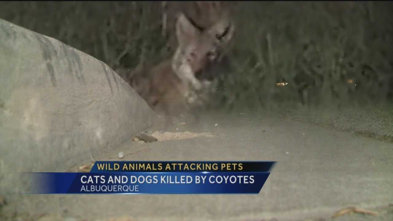 Wild animals are invading Albuquerque neighborhoods and targeting pets.