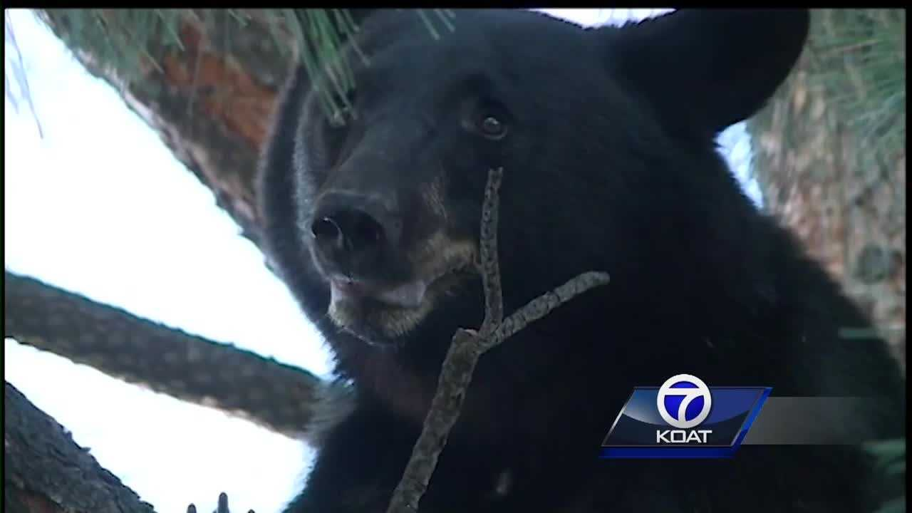 Marathoner Bear Attack