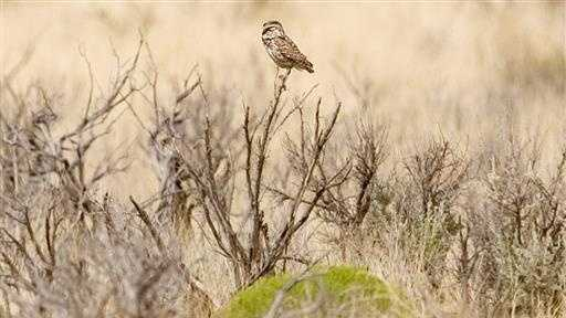 In this July 23, 2004 file photo, a burrowing owl perches on a bush near Angel Peak outside Bloomfield, N.M. A federal land management official says more enforcement officers have been put on patrol in the Caja del Rio area near Santa Fe after the reported killing of a burrowing owl. (Ben Chrisman/The Daily Times via AP)