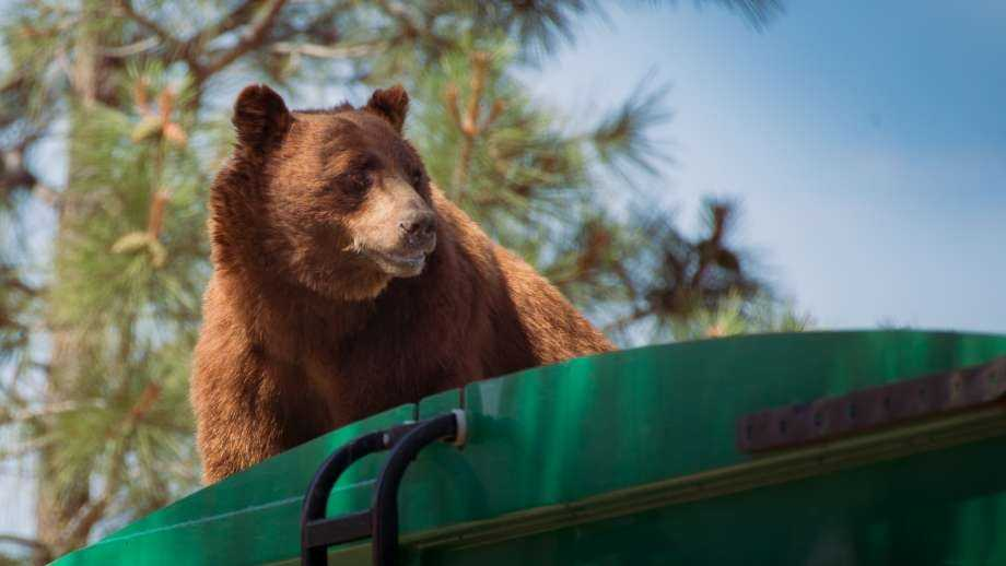 In this July 18, 2016 photo provided by Evan Welsch, a bear hitches a ride on top of a garbage truck in Los Alamos National Labs in Los Alamos, N. M. Helicopter mechanic Welsch, who snapped photos of the bear, said about 30 Forest Service and National Park workers had gathered around to see the spectacle when it was suggested that the driver back up near a tree to give the animal an escape route. The bear clamored for the tree and stayed up there about an hour or two before scurrying down and running off.