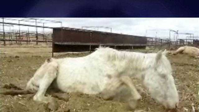 Disturbing video obtained by Action 7 News shows horses so weak that they cannot stand and others that died because they are so injured and neglected.