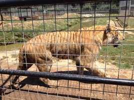Tigers at the G.W. Exotic Animal Memorial Park in Wynnewood.