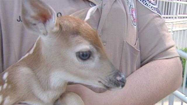 A baby deer is getting a new home Thursday.