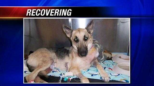A German Shepherd thrown off a bridge is recovering after surgery. Rookie's new owner says that he tried to walk for the first time on his repaired leg this morning. There is a $7,500 reward to find the person responsible.