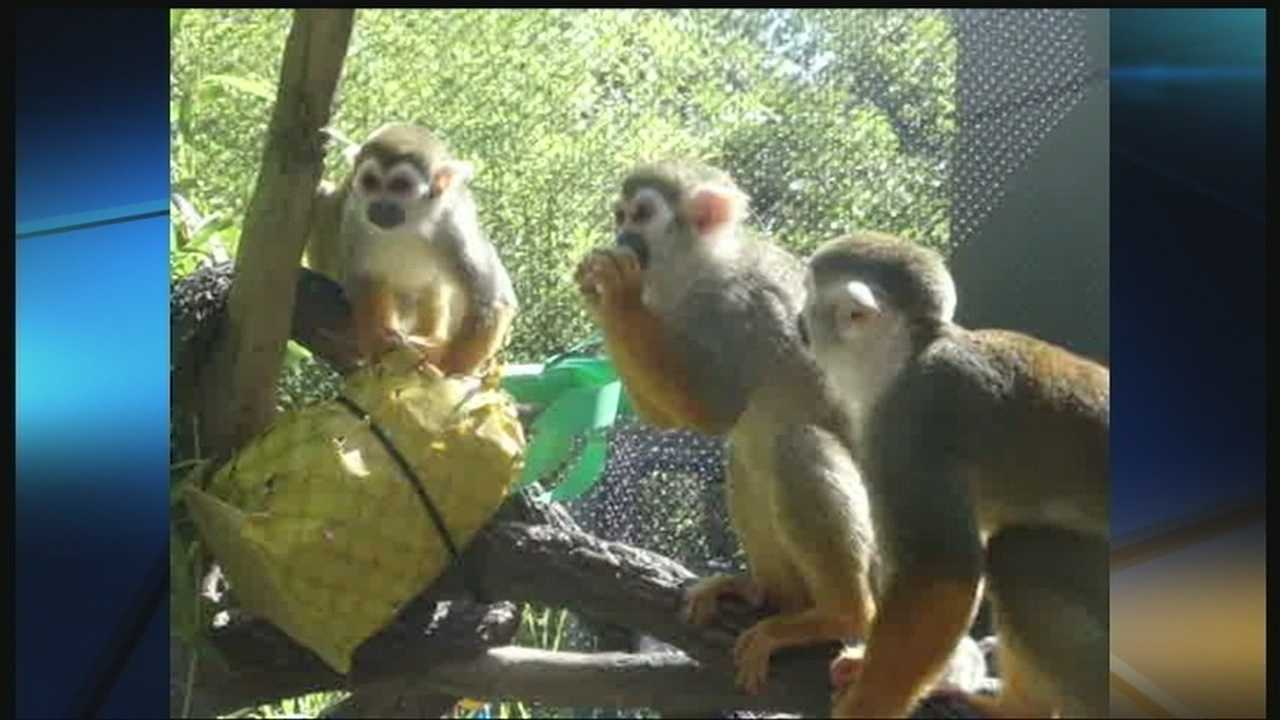 Monkeys at the Oklahoma City Zoo celebrated the hot weather with popcorn, nuts and fruit.