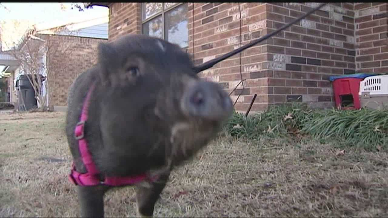 img-Baby pig attacked by dog recovering