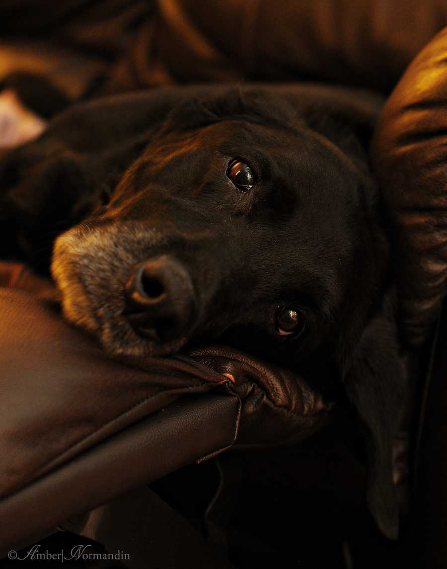 10-year-old lab Gus. His owner says he is the sweetest old man she knows. <3