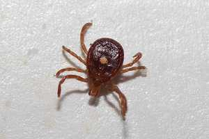 The Heartland Virus. It's carried by ticks and fleas. Click here to see more on the virus.