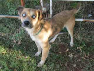 My name is Rumi and I am a brown and white Collie. I am a 2-year-old spayed female.Click here to learn more about the adoption process