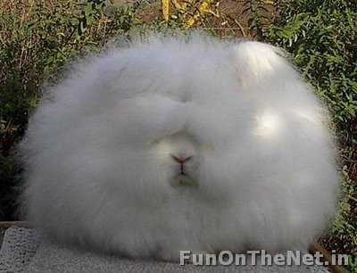 Angora rabbit - One of the oldest types of domestic rabbit, it is bred for its long, soft hair. It originated in Ankara, Turkey, along with the Angora cat and Angora goat. They are largely bred for their long wool, which may be removed by shearing, combing or plucking. Read More: http://www.funonthenet.in/articles/unusual-animals.html#sthash.oNrbo8k1.dpuf