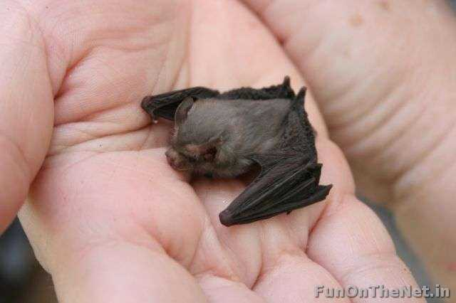 Bumblebee bat - This tiny creatures competes with the Etruscan pygmy shrew for the designation of the world's smallest mammal. It is about 29 to 33 mm in length. They are now considered as one of the 12 most endangered species on the planet. It can be found in western Thailand and southeast Burma. Read more: http://www.funonthenet.in/articles/unusual-animals.html#sthash.oNrbo8k1.dpuf