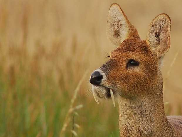 """Chinese Water Deer have earned the nickname """"Vampire Deer"""" for their prominent tusks, which are used in territorial battles. Read more: http://www.fascinatingpics.com/7-strange-animals-the-world-needs-to-know-about-immediately-2/"""