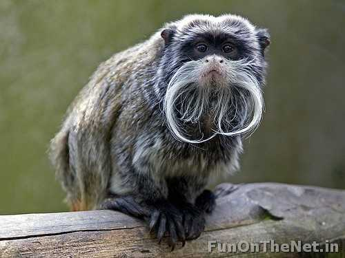 Its named was intended as a joke as it was named after German emperor Wilhem II, who sported a unique handlebar mustache during his reign. It is found in southwest Amazon Basin, in east Peru, north Bolivia and in the west Brazilian states of Acre and Amazonas. It reaches a length of 24 to 26 cm with a 35 cm long tail. Read more: http://www.funonthenet.in/articles/unusual-animals.html#sthash.oNrbo8k1.dpuf