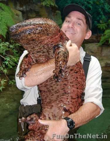 Giant Salamandar - The Giant salamander is the largest amphibian known today. It can grow up to 6 feet long. They are usually found in ponds and brooks of China, Japan and USA. Read more: http://www.funonthenet.in/articles/unusual-animals.html#sthash.oNrbo8k1.dpuf