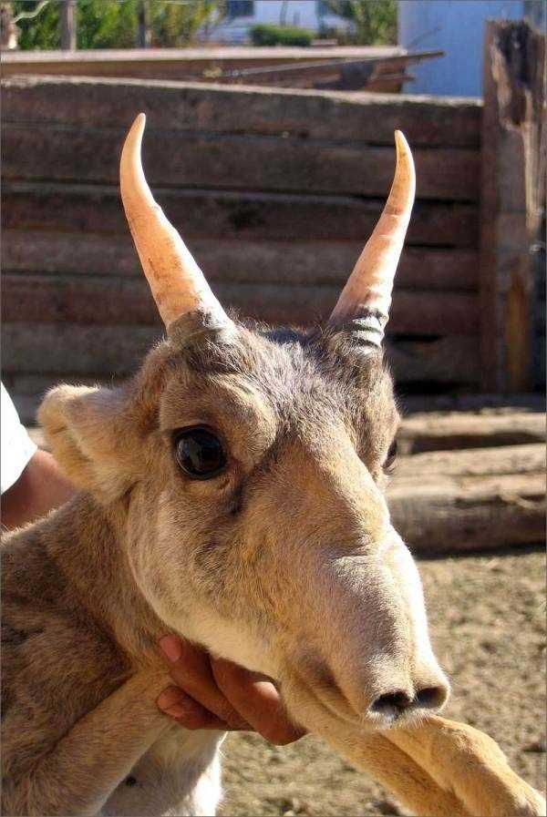 The Saiga Antelope: The Saiga Antelope is known for its extremely unusual, over-sized, flexible nose structure. They are critically endangered and it is already completely extinct in China and southwestern Mongolia. Read more: http://www.viralnova.com/unique-animals/#zE92Dh2k2bRQaxo5.99
