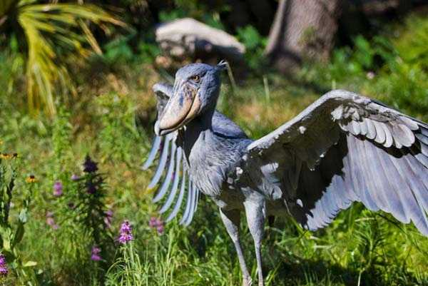 The Shoebill: This species is also referred to using the names Whalehead or Shoe-billed Stork. The bird has a large shoe-shaped bill, hence its unusual name. The Shoebill lives in tropical east Africa in large swamps from Sudan to Zambia, and it is also known for its unique, blue feathers. These birds are quite large, and they can range in height from 110cm – 152cm. Read more: http://www.viralnova.com/unique-animals/#zE92Dh2k2bRQaxo5.99